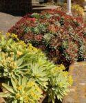 Tabaibas mejoreras (Euphorbia atropurpurea y E. atropurpurea f. lutea)