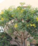 Cerrajon arbóreo (Sonchus canariensis subsp. canariensis)