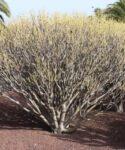 Tabaiba amarga (Euphorbia lamarckii). Facultad de Economía, Empresa y Turismo