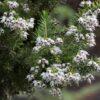 Brezo (Erica canariensis)