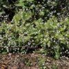 Colderrisco canaria (Crambe strigosa)