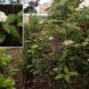 Follao (Viburnum rugosum)