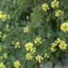 Pajonera canaria (Descurainia millefolia)