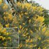 Retamón canario, gildana (Teline canariensis)