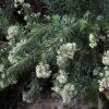 Torvisco (Daphne gnidium)