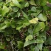 Zarzaparrilla (Smilax aspera subsp. mauritanica)