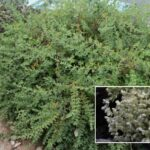 Nevadilla (Paronychia canariensis)