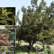 Barbusano (Apollonias barbujana)