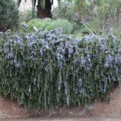 Romero rastrero (Rosmarinus officinalis 'Prostratus')