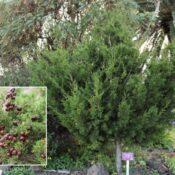 Sabina canaria (Juniperus turbinata subsp. canariensis)