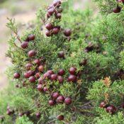 Sabina canaria (Juniperus turbinata subsp. canariensis). Detalle arcéstidas
