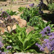 Siempreviva (Limonium macrophyllum)