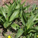 Cebolla almorrana desnuda (Drimia hesperia)