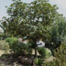 Viñátigo (Persea indica)