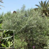 Acebuche canario (Olea cerasiformis).