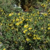 Oro de risco (Anagyris latifolia)