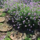 Alhelí montuño (Erysimum virescens)