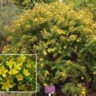 : Cruzadilla (Hypericum reflexum)