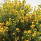 Granadillo (Hypericum canariense)