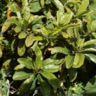 Marmulán (Pleiomeris canariensis)