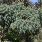 Palosangre (Marcetella moquiniana)