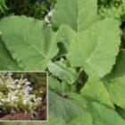 Salvia de risco (Salvia broussonetii)