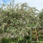 Tagasaste (Chamaecytisus proliferus subsp. proliferus)