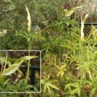 Taragontía (Dracunculus canariensis)
