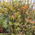 Almácigo (Pistacia atlantica)
