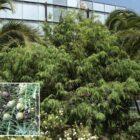 Cedro canario (Juniperus cedrus subsp. cedrus)