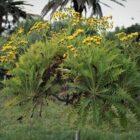 Cerrajón arbóreo (Sonchus canariensis)