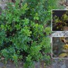 Espinero (Rhamnus crenulata)