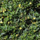 Jazmín canario (Jasminum odoratissimum)