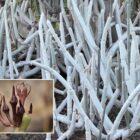 Cardoncillo gris (Ceropegia fusca)