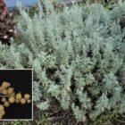 Incienso (Artemisia thuscula)