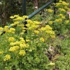 Servilleta de mar (Astydamia latifolia)