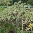 Tabaiba dulce (Euphorbia balsamifera subsp. balsamifera)