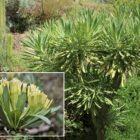 Verode (Kleinia neriifolia)