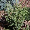 Albahaca de limón thai (Ocimum x citriodorum)