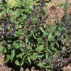 Albahaca tailandesa (Ocimum tenuiflorum)
