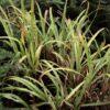 Caña santa (Cymbopogon citratus)