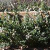 Hierbahuerto, hortelana, hierbabuena (Mentha spicata)
