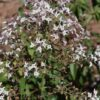 Hierbaluisa, cidrón (Aloysia citrodora)