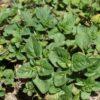 Orégano común (Origanum vulgare)