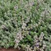 Tomillo limonero (Thymus citriodorus)