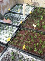 Ensayo de reproducción vegetativa de madama de risco (Allagopappus canariensis)