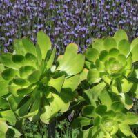 Composición vegetal con lavanda canaria (Lavandula canariensis) y bejeque arbóreo (Aeonium arboreumsubsp.holochrysum)