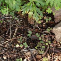 Regeneración natural de la pata de gallo (Geranium reuteri)