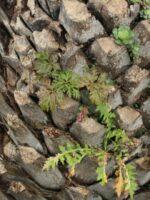 Pruebas de siembra directa sobre troncos de palmera canaria