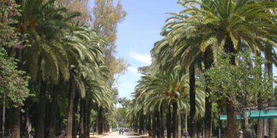 Avenida con palmeras canarias (Phoenix canariensis). Parque de Maria Luisa. Sevilla